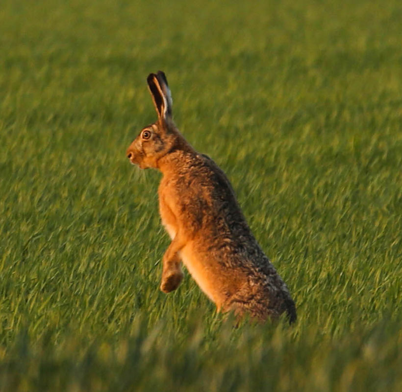 hare hunting