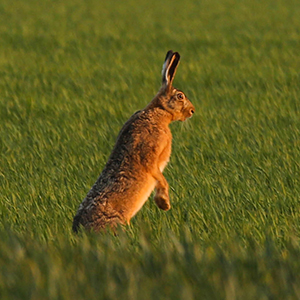 Driven hunt for hares