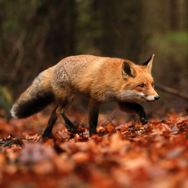 Fox hunting guide