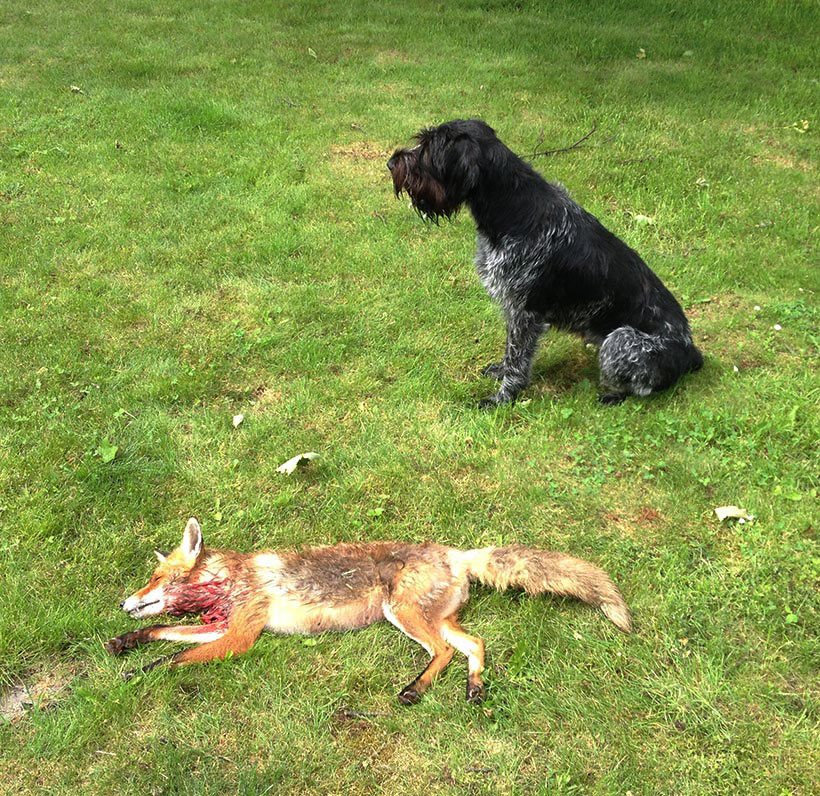 Dog and dead fox