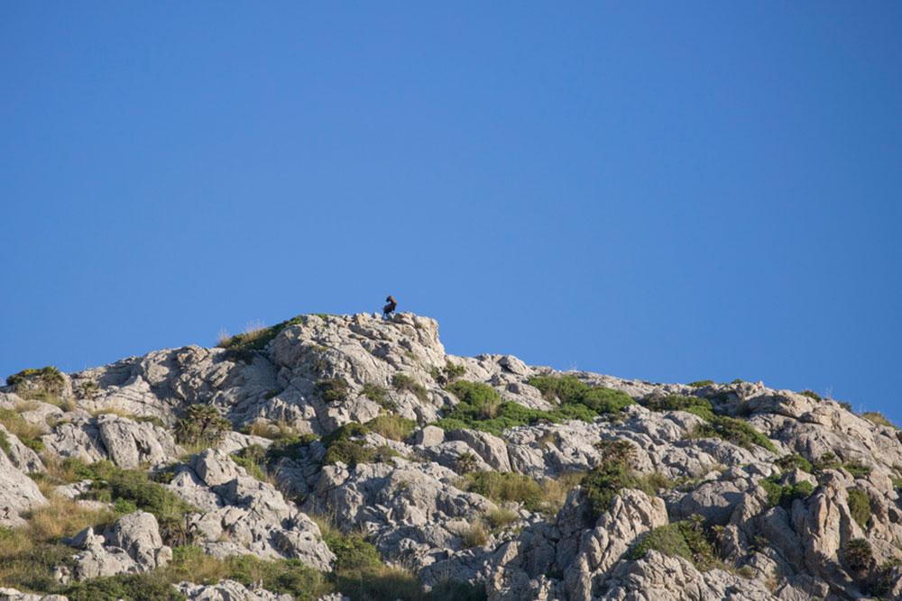 Hunting Balearic Boc in Majorca - Deerhunter