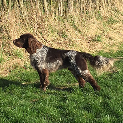 The German Longhaired Pointer